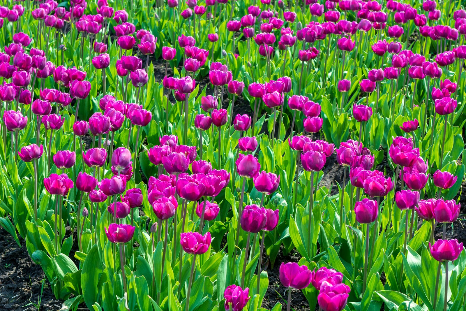 tulipaner på lolland
