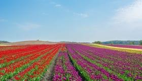 Tulipaner_paa_Lolland_2018-0064
