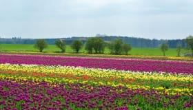Tulipaner_paa_Lolland_2018-0070
