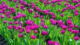 Tulipaner_paa_Lolland_2018-0074